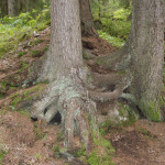 Почвенный слой каменного острова всего 10-15см. Корни деревьев, не имея возможности брать соки из глубин, располагаются на поверхности земли