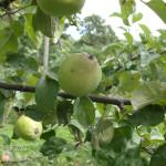 Яблоневый сад монаха Григория