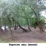 03 - ивняк (заросли ивы)