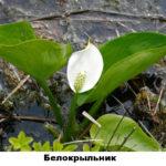 10 - белокрыльник (болотная калла)