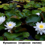 11 - кувшинка (водяная лилия)и