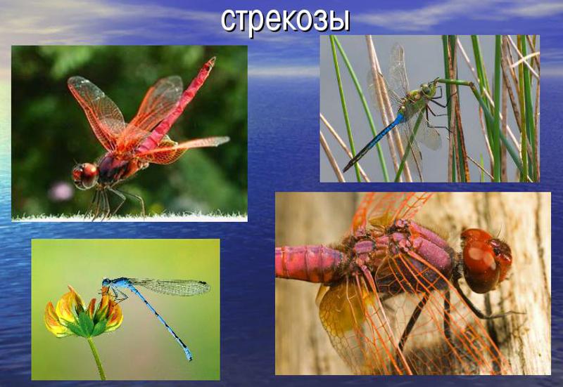31 - стрекозы