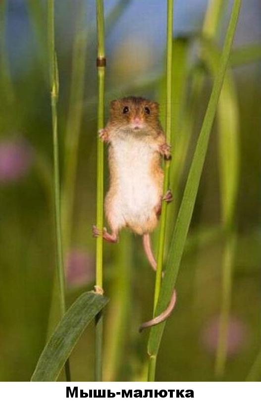 32 - мышь-малютка
