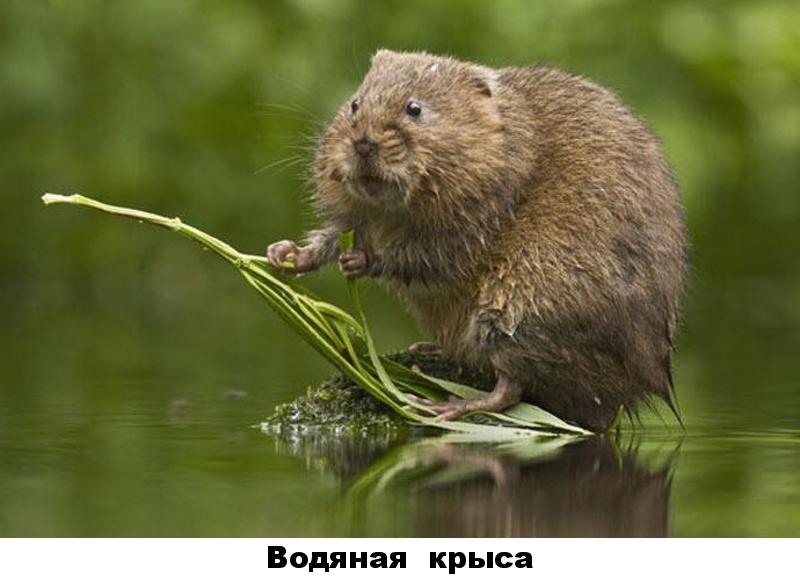 33 - водяная крыса