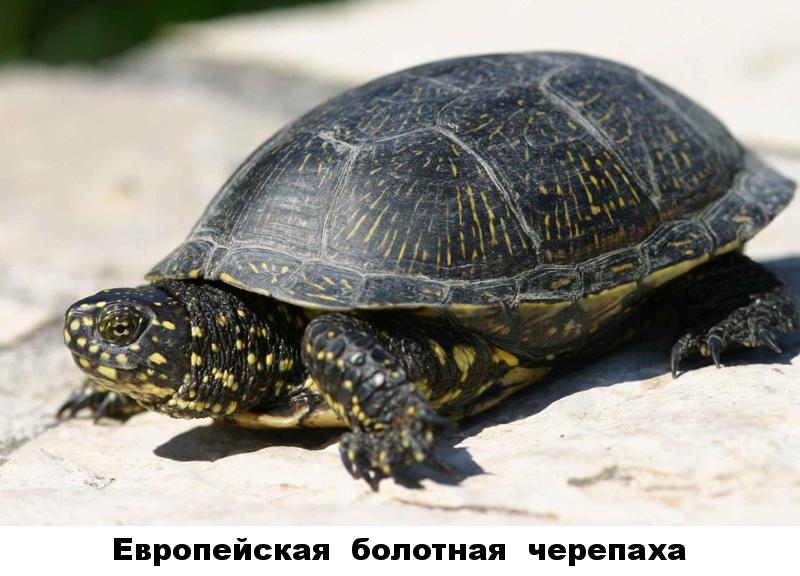 34 - европейская болотная черепаха