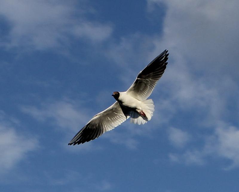 39 - озёрная чайка в полёте