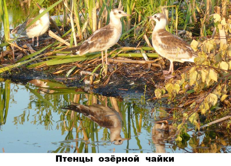 41 - птенцы озёрной чайки